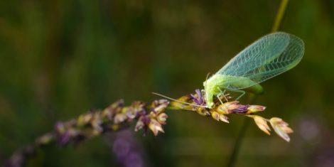Gemeine Florfliege (Chrysoperla carnea)