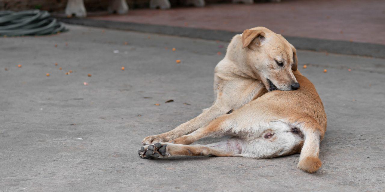 Hundefloh (Ctenocephalides canis)
