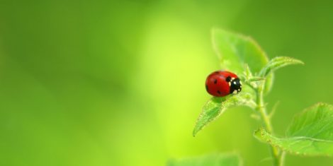 Nützlinge: Marienkäfer auf einem grünen Blatt