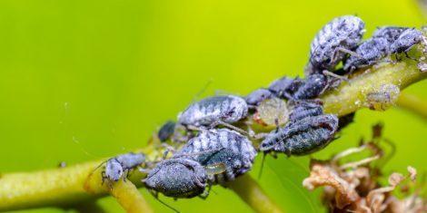 Blattläuse als Schädlinge auf einem Blatt