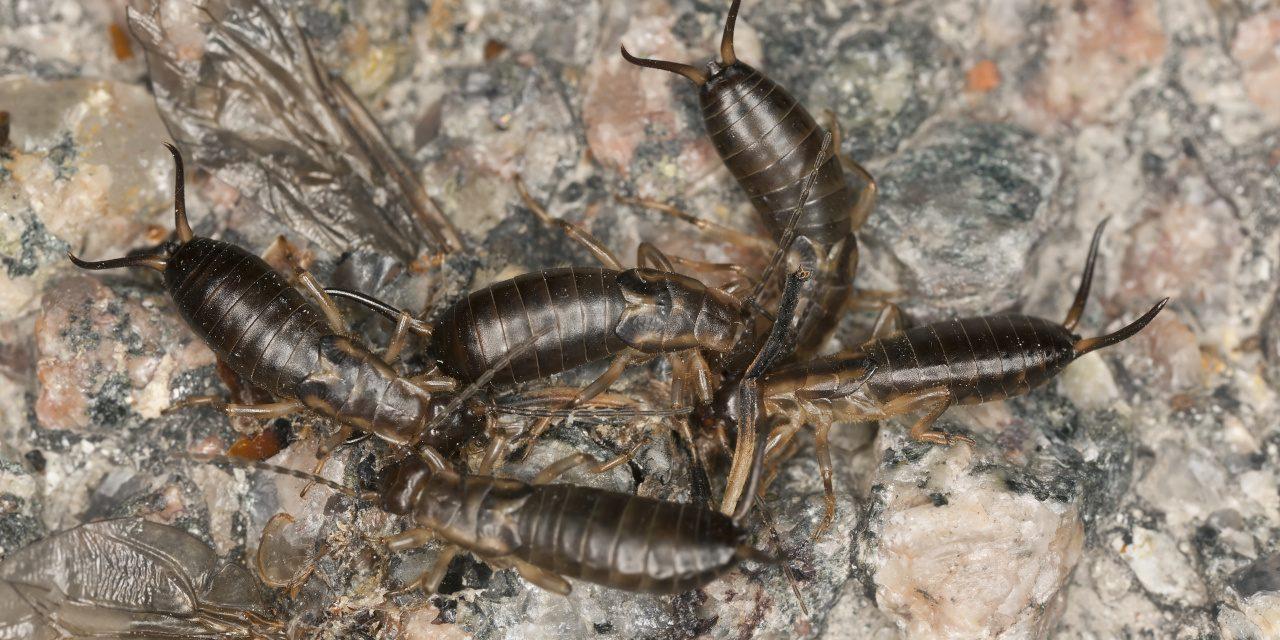 Ohrwürmer fressen ein Insekt