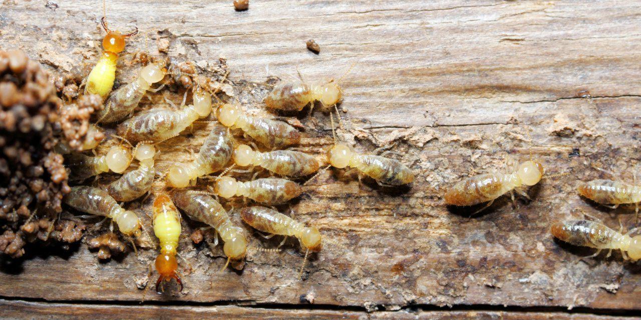 Termiten (Isoptera) auf einer hölzernen Struktur