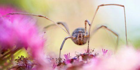 Weberknecht (Opiliones) auf einer pinkfarbenen Blüte