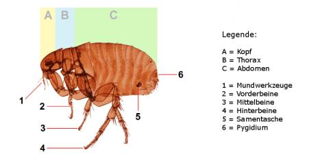 Körperbau eines weiblichen Rattenflohs