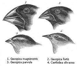 Unterschiedliche Schnabelformen bei den Darwinfinken