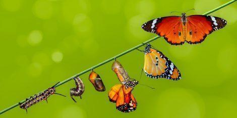 Metamorphose beim Schmetterling
