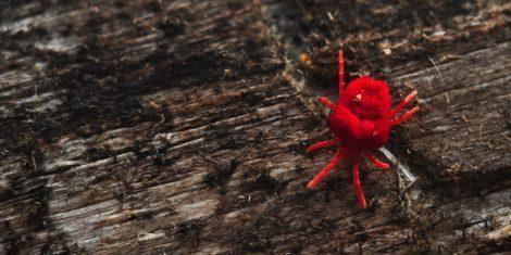 Rote Samtmilbe auf einem Holzstück