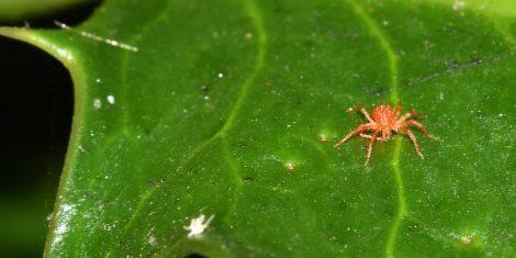 Rote Spinne (Milbe) auf einem grünen Blatt