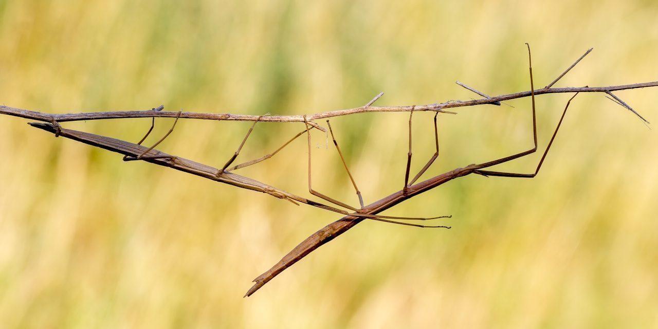 Mimese: Die Gespenstschrecke Diapheromera femorata sieht aus wie ein Zweig