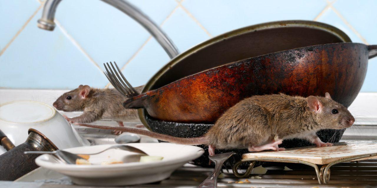 Schädlinge: Ratten in der Küche
