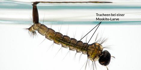 Tracheen bei einer Mücken-Larve