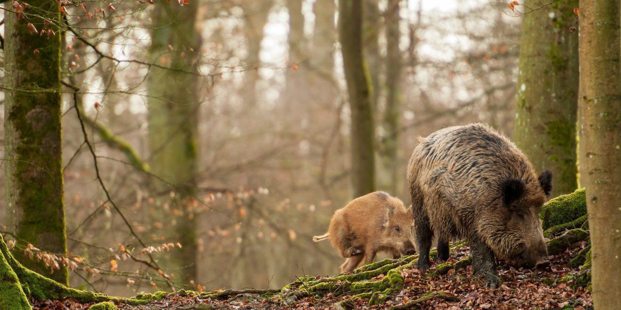 Allesfresser: Wildschwein mit Frischling