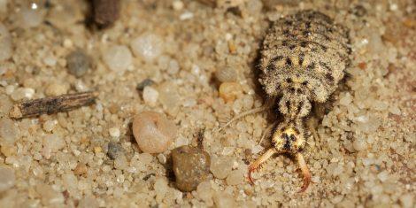 Ein Ameisenlöwe - Die Larve der Ameisenjungfern