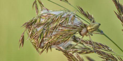 Spinnen: Weiblicher Ammen-Dornfinger bei ihrem Gespinst
