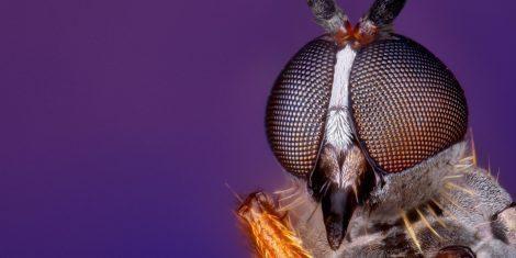 Facettenaugen bei einer Fliege