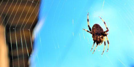 Spinnen: Gartenkreuzspinne in ihrem Netz