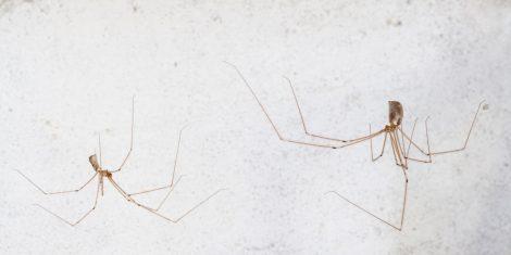 Spinnen: Weibliche und männliche Große Zitterspinne