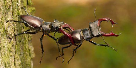 Hirschkäfer kämpfen während der Paarungszeit um eine bessere Position auf der Baumrinde.