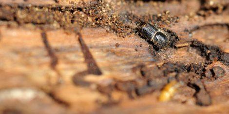 Holzschädlinge: Fraßgänge eines Borkenkäfers