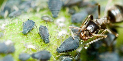 Ameise erntet Honigtau von einer Blattlaus