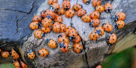 Käfer: Marienkäferversammlung auf einem Holzbrett