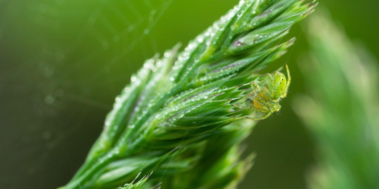 Spinnen: Kürbisspinne auf einer Grasrispe