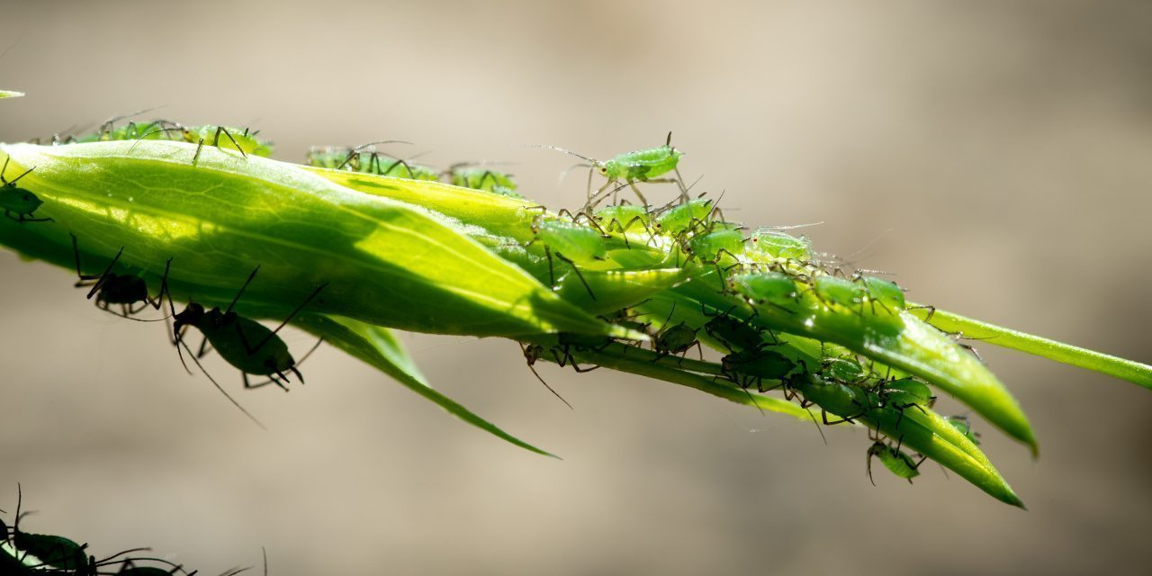 Blattläuse auf einer Pflanze