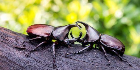 Nashornkäfer kämpfen auf einem Stück Holz.