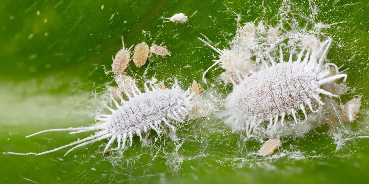 Pflanzenläuse: Wollläuse sitzen auf einem Blatt