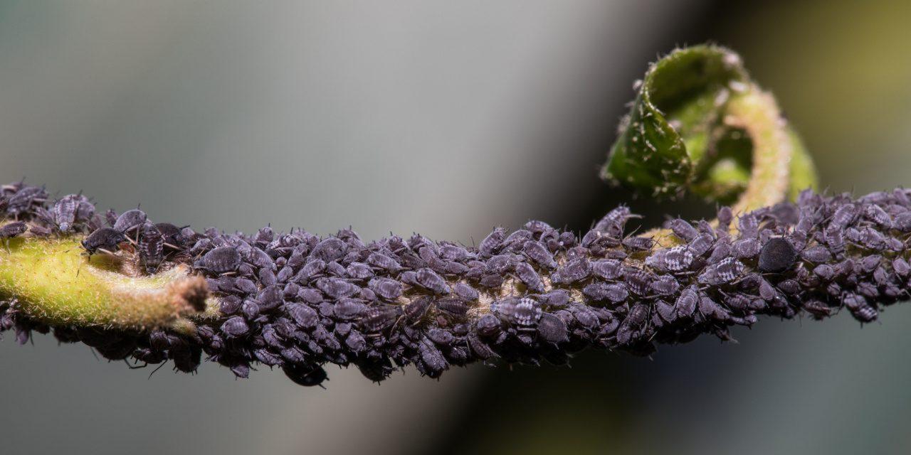 Pflanzenläuse: Blattläuse auf einer Pflanze