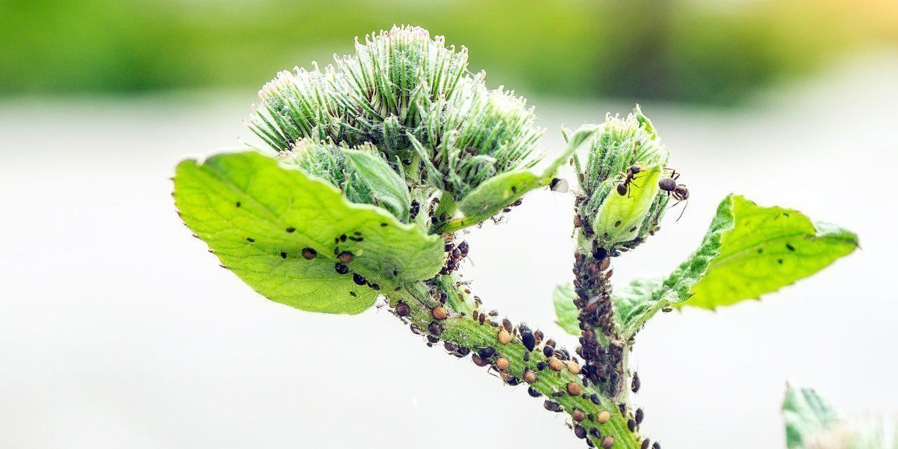 Schwarze Bohnenlaus hat eine Pflanze befallen
