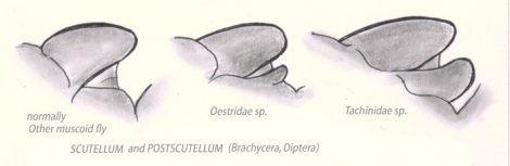 Scutellum und Postscutellum bei Fliegen