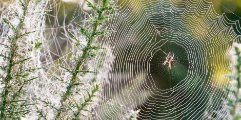 Spinnen: Spinnennetz mit Morgentau bedeckt