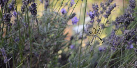 Spinnen: Wespenspinne mit der typischen Färbung am Hinterleib