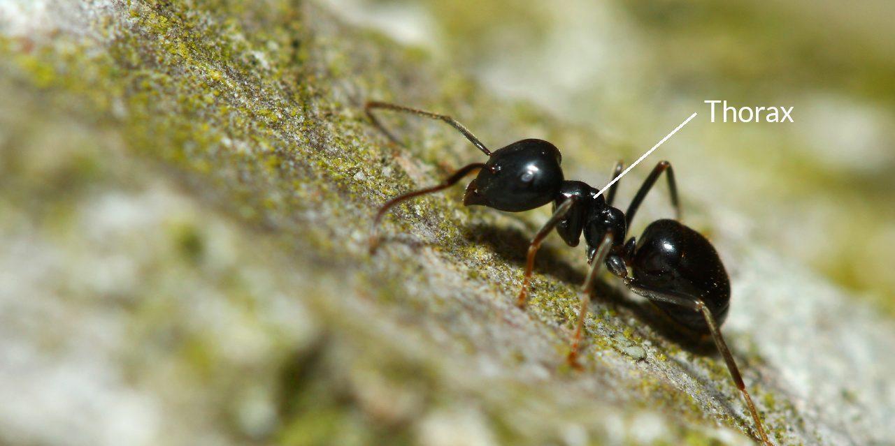 Thorax bei einer Ameise