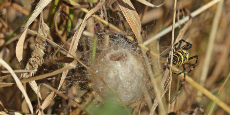Spinnen: Wespenspinne beim Bau eines Eikokons