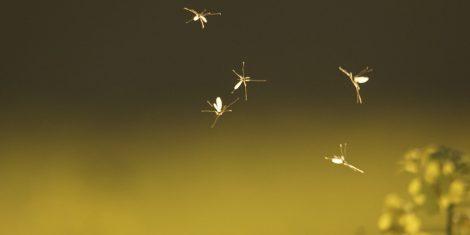 Zweiflügler: Mücken tanzen im Sonnenuntergang