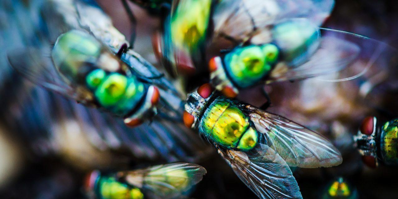 Zweiflügler: Mehrere Goldfliegen beim fressen