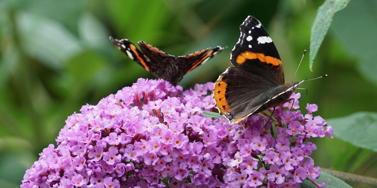 Admiral auf der Blüte des Schmetterlingsflieders