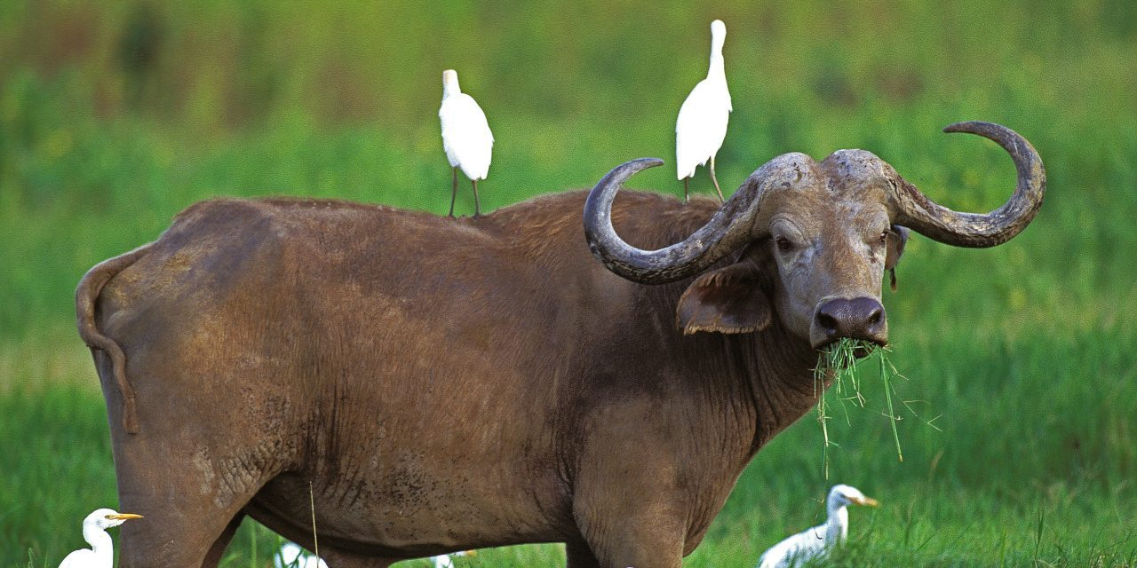Biotische Umweltfaktoren: Kaffernbüffel mit Kuhreihern auf dem Rücken