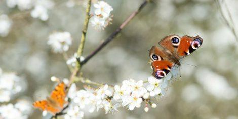 Tagpfauenauge und C-Falter auf Schlehenblüten