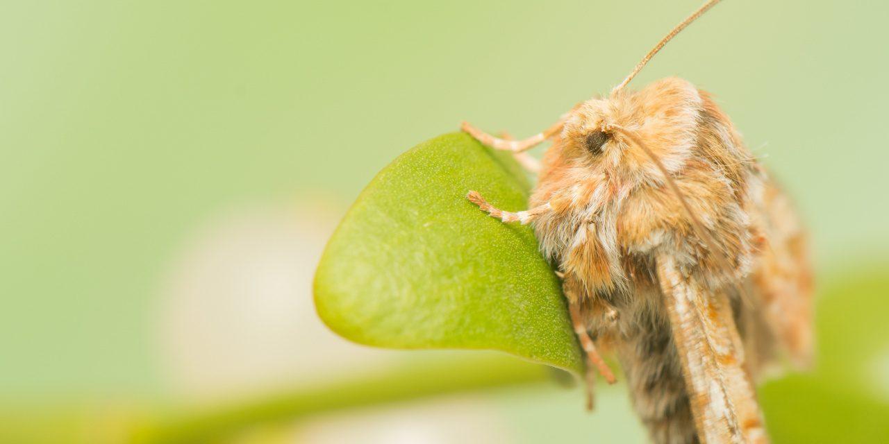 Eulenfalter: Kieferneule (Panolis flammea) auf einem Blatt