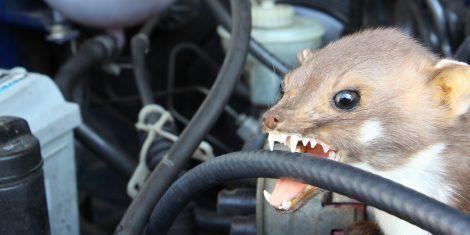 Marder beißt Schlauch beim Auto kaputt