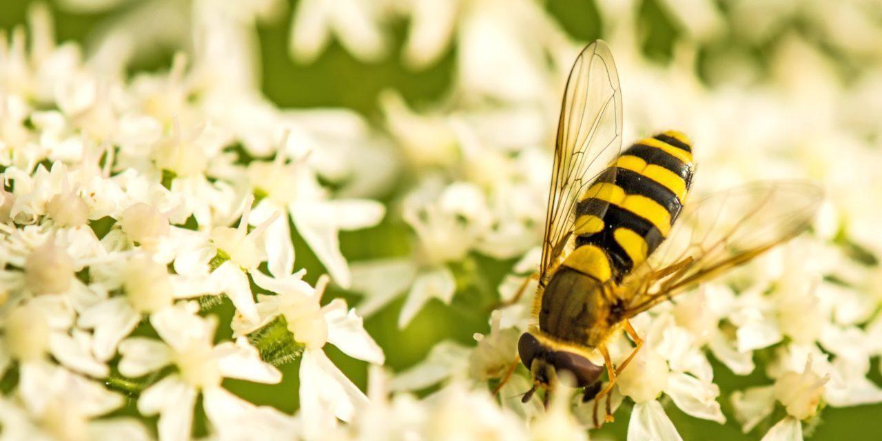 Mimikry: Schwebfliegen ahmen die Gestalt von Wespen und Bienen nach