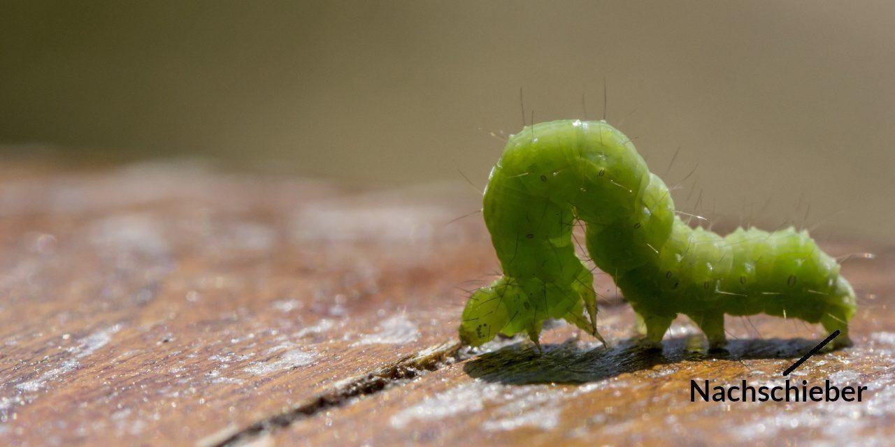 Als Nachschieber wird das letzte Beinpaar bei Schmetterlingsraupen bezeichnet
