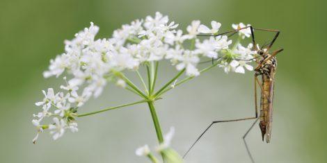 Einige Arten der Schnaken gelten als Schädling im Anbau von Gemüse
