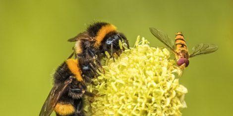 Schwebfliegen: Hummeln und eine Schwebfliege auf einer Blüte