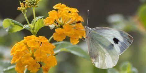 Weißlinge: Der Große Kohlweißling auf einer Blüte