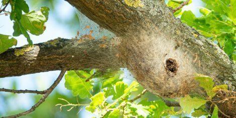 Zahnspinner: Gespinnst des Eichenprozessionsspinners mit Raupen