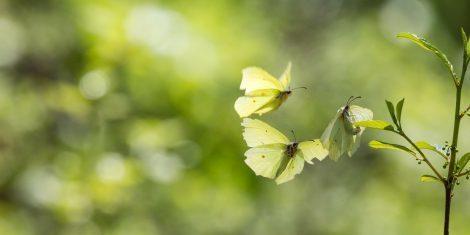 Zitronenfalter im Frühling beim Liebesspiel